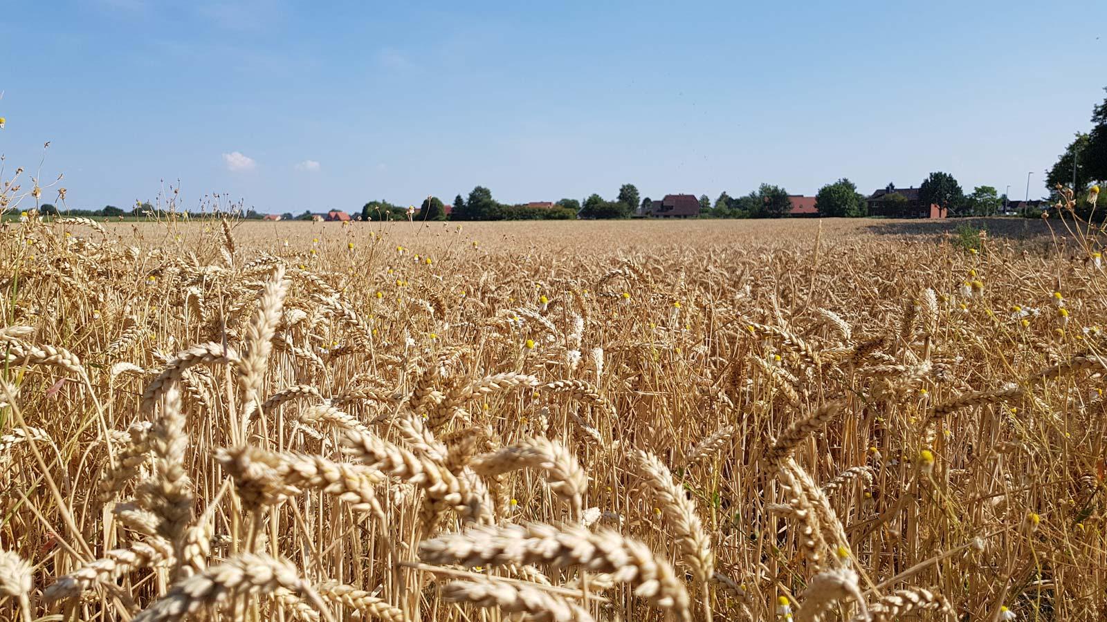 Goldgelbe Felder in Otterndorf