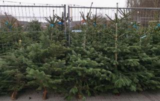 Weihnachtsbäume in Otterndorf